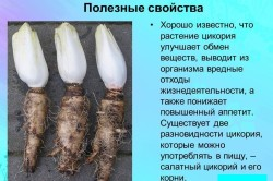 Полезные свойства цикория