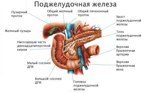 Поджелудочная железа играет важнейшую роль в организме человека: от ее работы во многом зависит состояние жизненно важных систем
