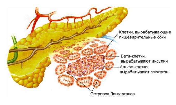 В микроскопическом строении самой поджелудочной железы различают 2 разных типа клеток. Это дает возможность выделять в органе эндокринную и экзокринную части